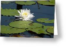 Fragrant White Waterlily - Nymphaea Odorata - Florida Native Greeting Card