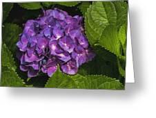 Framed Purple Blue Hydrangea Blossom Greeting Card