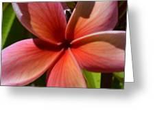 Frangipani . 1.1 Greeting Card