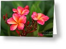 Frangipani Trio Greeting Card