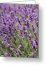 French Lavender Greeting Card