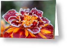 French Marigold Named Durango Red Outlined With Frost Greeting Card