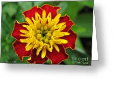 French Marigold Named Solan Greeting Card