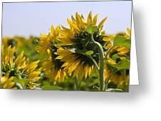 French Sunflowers Greeting Card