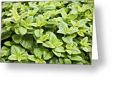 Fresh Mint Greeting Card