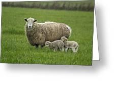Freshly Made - Winter Lambs Greeting Card