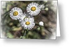 Fringed Daisy Greeting Card