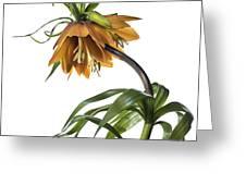 Fritillaria Imperialis Greeting Card
