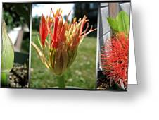From Bud To Bloom - African Blood Lily Greeting Card