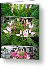 From Bud To Bloom - Cleome Named Pink Queen Greeting Card