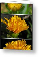 From Bud To Bloom - Coreopsis Named Early Sunrise Greeting Card