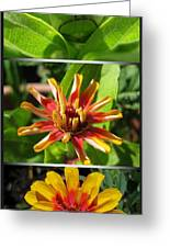 From Bud To Bloom - Zinnia Greeting Card