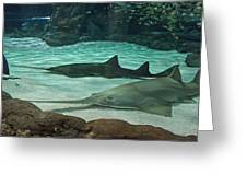 From The Deep - Sawtooth Ray Sharks Greeting Card