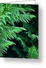 Fronds Of The Leyland Cypress Greeting Card