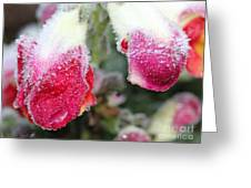 Frost Bears Down On Snapdragon Named Floral Showers Red And Yellow Bicolour Greeting Card
