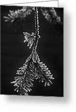 Frosted Pine Branch Greeting Card
