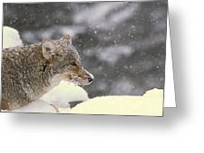 Frosty Coyote Greeting Card