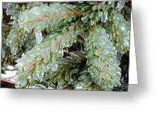 Frozen Boughs Greeting Card