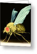 Fruit Fly Sem Greeting Card