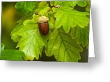 Fruit Of An Oak Tree Ripe In Autumn Greeting Card