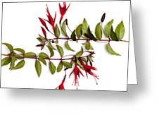 Fuchsia Stems On White Greeting Card