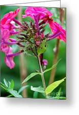 Fucia  Tubular Flowers Greeting Card