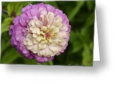 Zinnia In Full Bloom Greeting Card