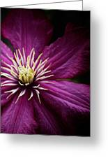 Full Bloom Clematis  Greeting Card