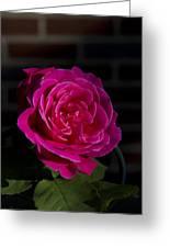 Full Bloom Morning Rose Greeting Card