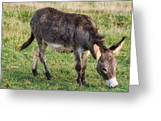 Full Grown Donkey Grazing Greeting Card