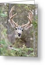 Funny Mule Deer Buck Portrait With Velvet Antler Greeting Card