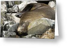 Fur Seal Greeting Card