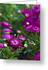 Fuschia Mums 2  Greeting Card