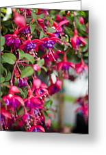 Fuchsia Spilling Over  Greeting Card