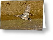 Gadwall Drake In Flight Greeting Card