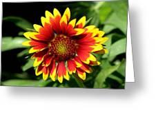 Gaillardia Greeting Card