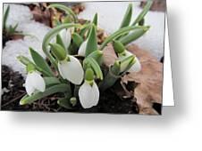 Galanthus Nivalis Snowdrops Greeting Card