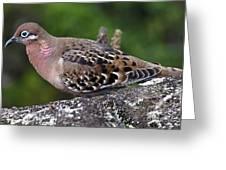 Galapagos Dove Galapagos Islands National Park Santa Cruz Island Greeting Card