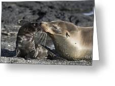 Galapagos Fur Seals Greeting Card