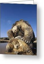 Galapagos Giant Tortoise Mating Alcedo Greeting Card