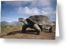 Galapagos Giant Tortoise On Alcedo Greeting Card