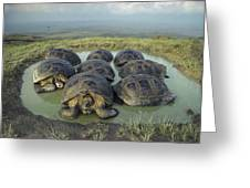 Galapagos Giant Tortoises Wallowing Greeting Card