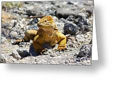 Galapagos Iguana On The Move Greeting Card