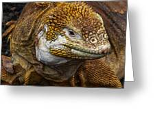 Galapagos Land Iguana  Greeting Card by Allen Sheffield