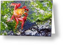Galapagos Sally Lightfoot Crab Greeting Card