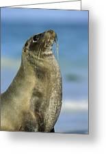 Galapagos Sea Lion Coral Beach Greeting Card