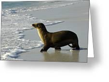Galapagos Sea Lion In Gardner Bay Greeting Card