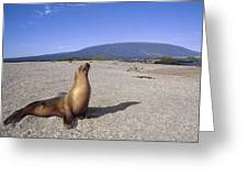 Galapagos Sea Lion Juvenile On Beach Greeting Card