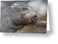 Galapagos Sea Lion Sleeping Greeting Card