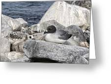 Galapagos Seagull And Her Chick Greeting Card